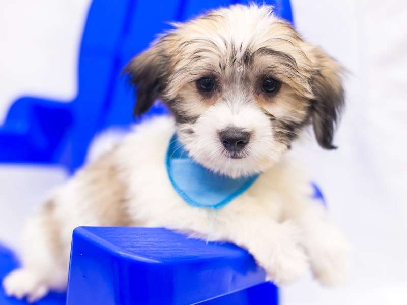 Coton De Tulear-Male-Gold & White-2819044-Petland Wichita, KS
