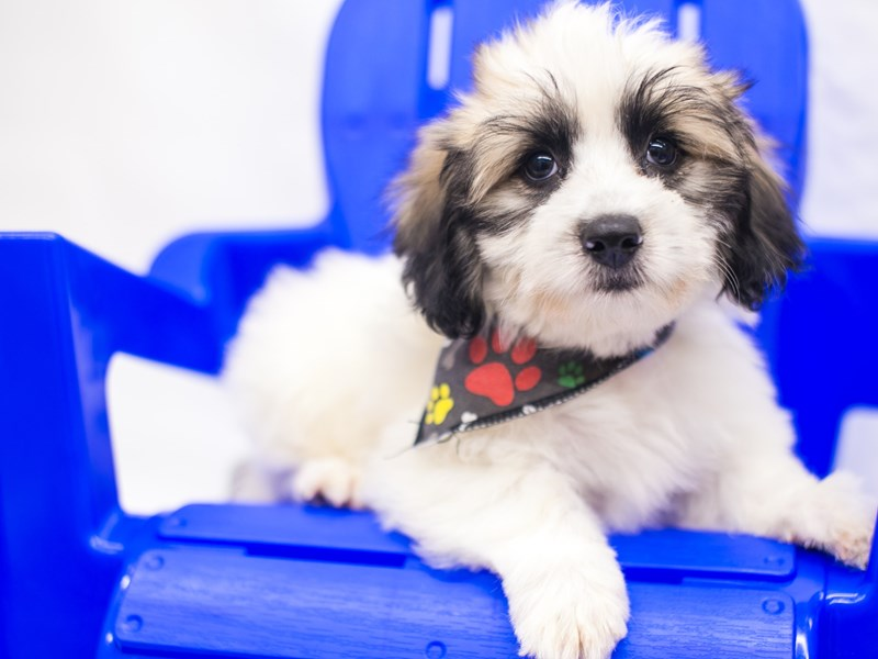 Coton De Tulear-Male-Gold & White-2819031-Petland Wichita, KS