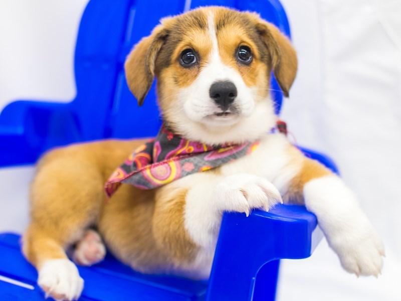Pembroke Welsh Corgi-Female-Red & White-2818967-Petland Wichita, KS