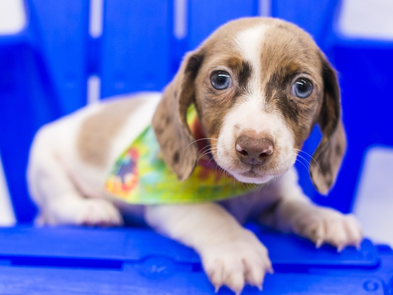 Miniature Dachshund-Male-Red Dapple-2818945-Petland Wichita, KS