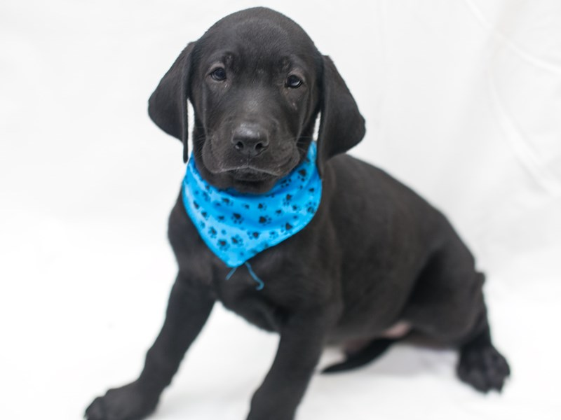 English Labrador Retriever-DOG-Male-Black-2818933-Petland Wichita, KS