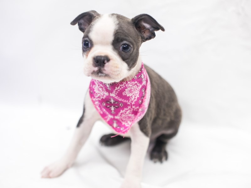 Boston Terrier-Female-Blue & White-2817611-Petland Wichita, KS