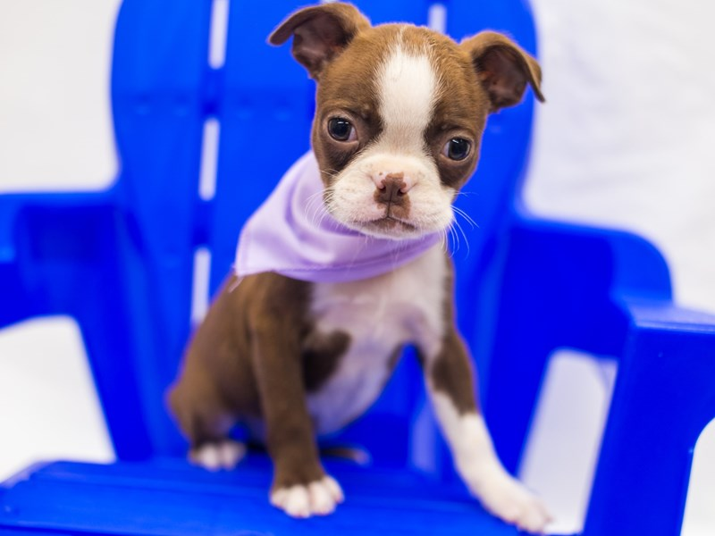 Boston Terrier-Female-Red & White-2817589-Petland Wichita, KS