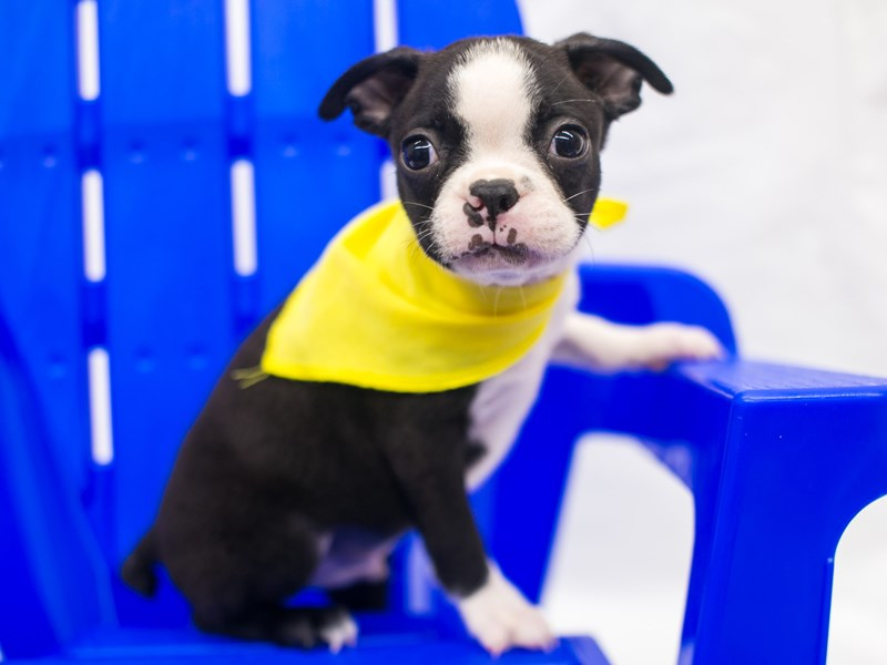 Boston Terrier-Male-Black & White-2817568-Petland Wichita, KS
