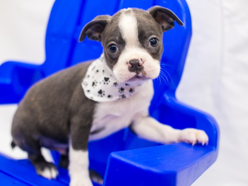Boston Terrier-Male-Blue & White-2817563-Petland Wichita, KS