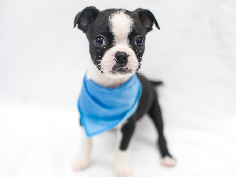 Boston Terrier-Male-Black & White-2817513-Petland Wichita, KS