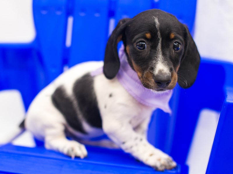 Miniature Dachshund-Female-Black Tri Piebald-2817502-Petland Wichita, KS