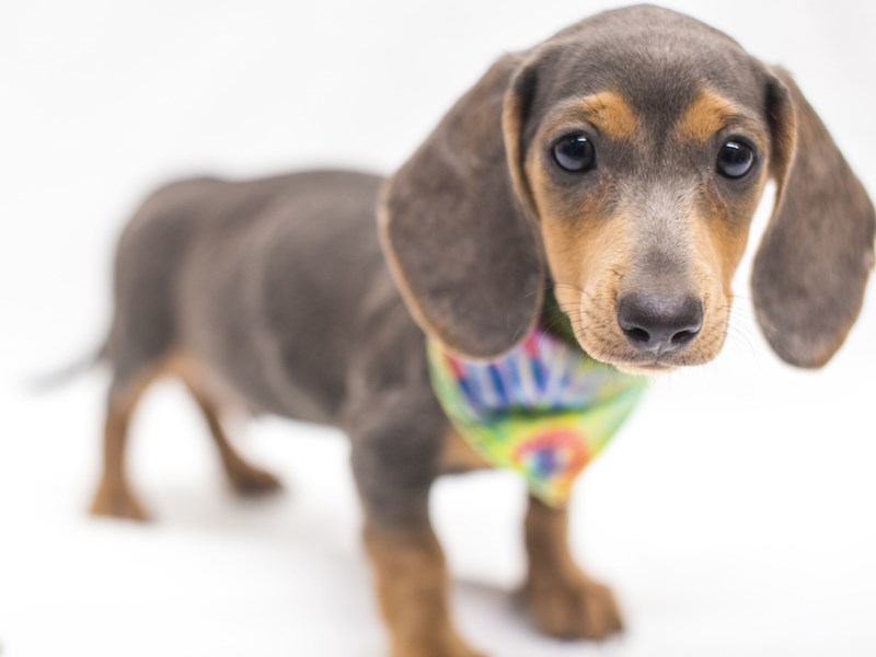 Miniature Dachshund-Male-Isabella Blue&Gold-2817491-Petland Wichita, KS