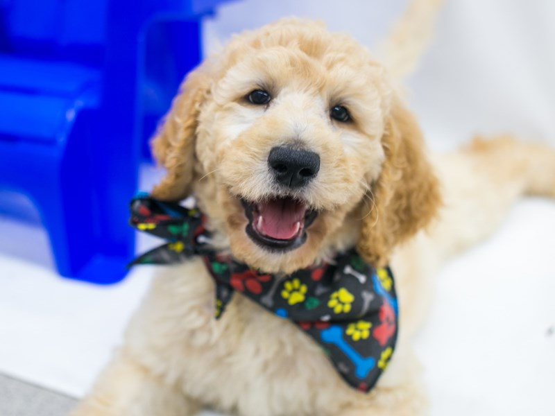 F1B Standard Goldendoodle-DOG-Male-Apricot-2826838-Petland Wichita, KS