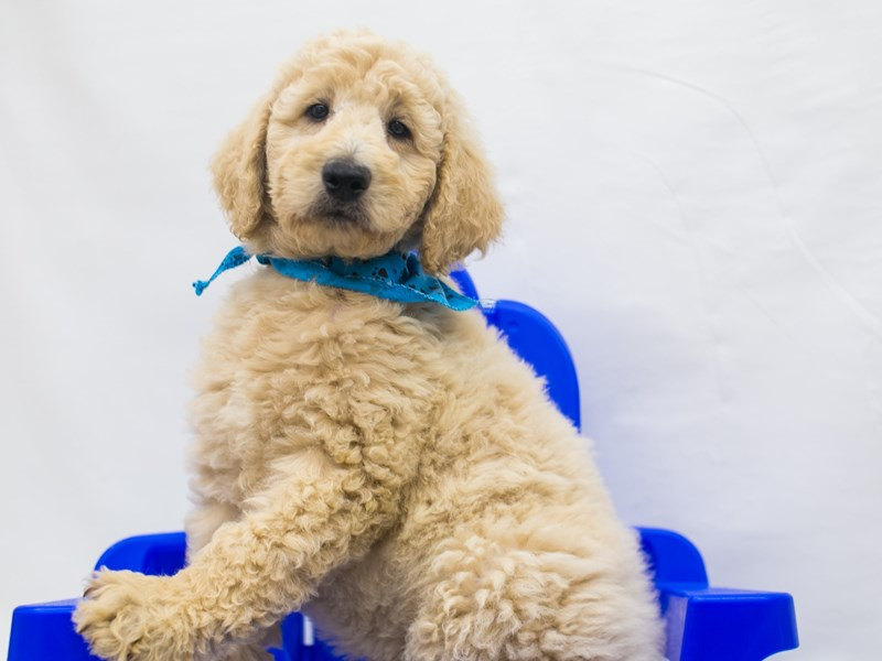 F1B Standard Goldendoodle-DOG-Male-Apricot-2826836-Petland Wichita, KS