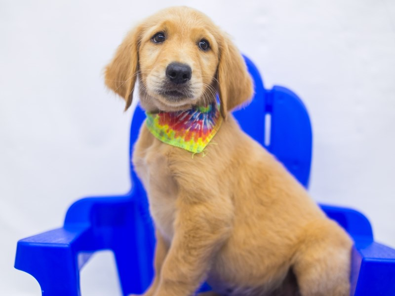 Golden Retriever-Male-Gold-2826784-Petland Wichita, KS