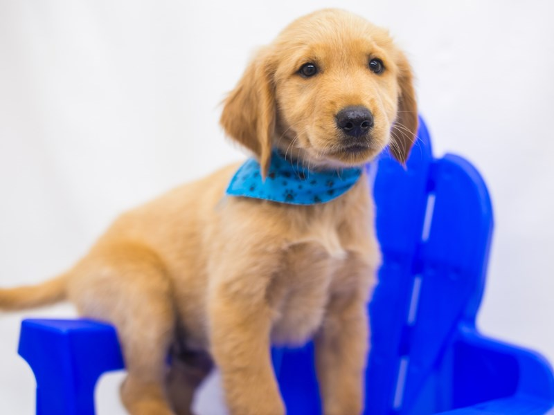 Golden Retriever-Male-Gold-2826761-Petland Wichita, KS