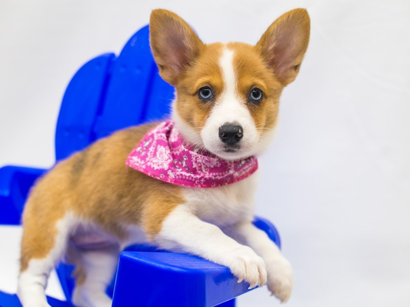 Pembroke Cardigan Welsh Corgi-Female-Red Merle (Blue eyes)-2826580-Petland Wichita, KS