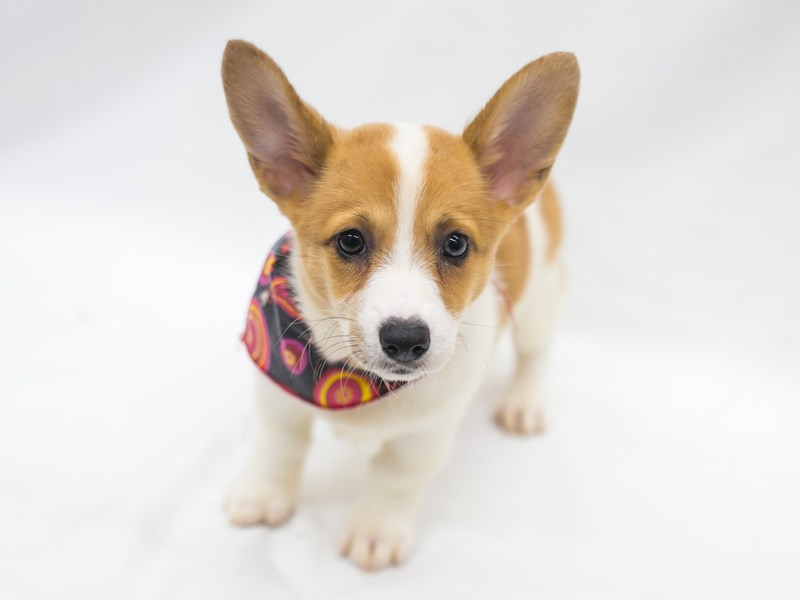 Pembroke Cardigan Welsh Corgi-Female-Red Pibald-2826565-Petland Wichita, KS