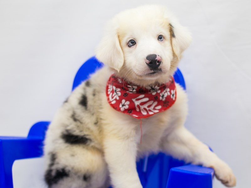Miniature Australian Shepherd-Male-Blue Merle-2826553-Petland Wichita, KS