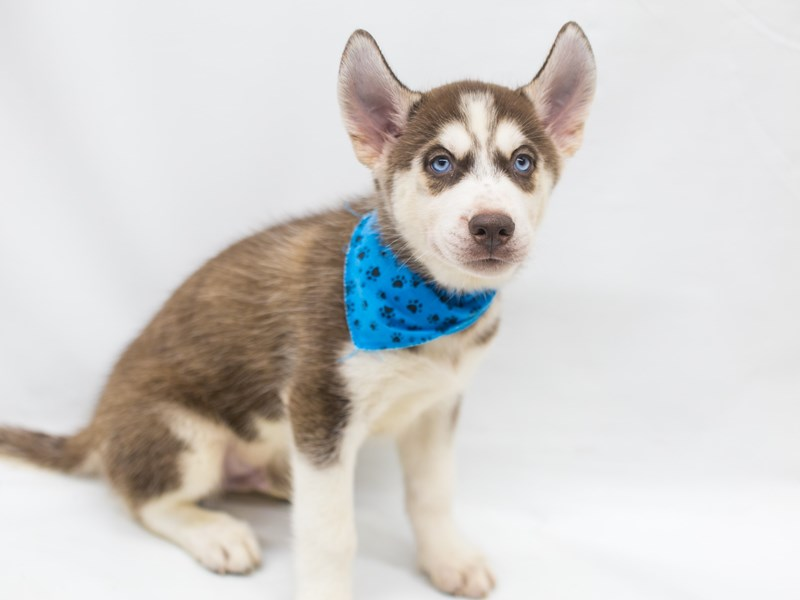 Siberian Husky-DOG-Male-Red & White-2825528-Petland Wichita, KS