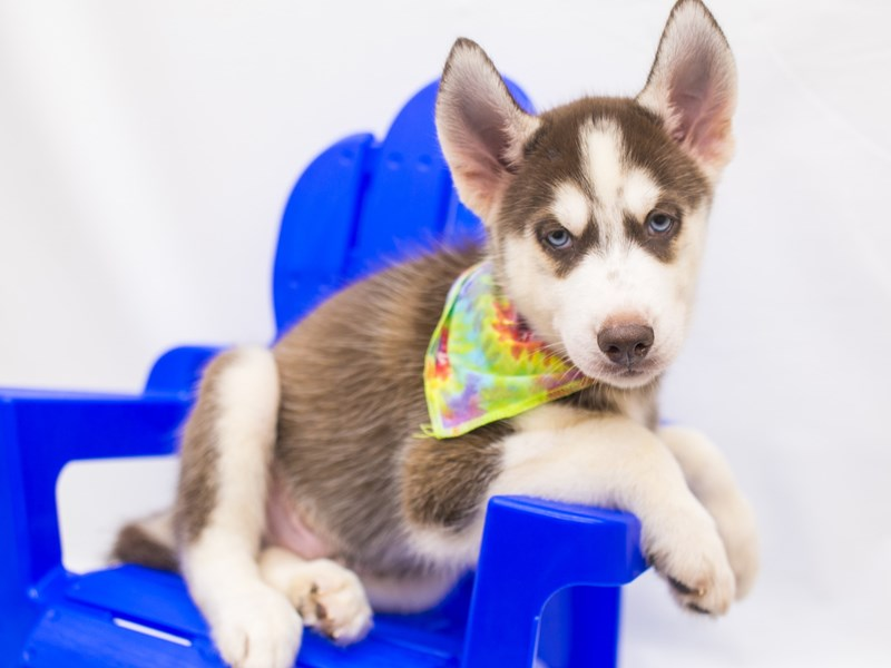 Siberian Husky-Male-Red & White-2825526-Petland Wichita, KS