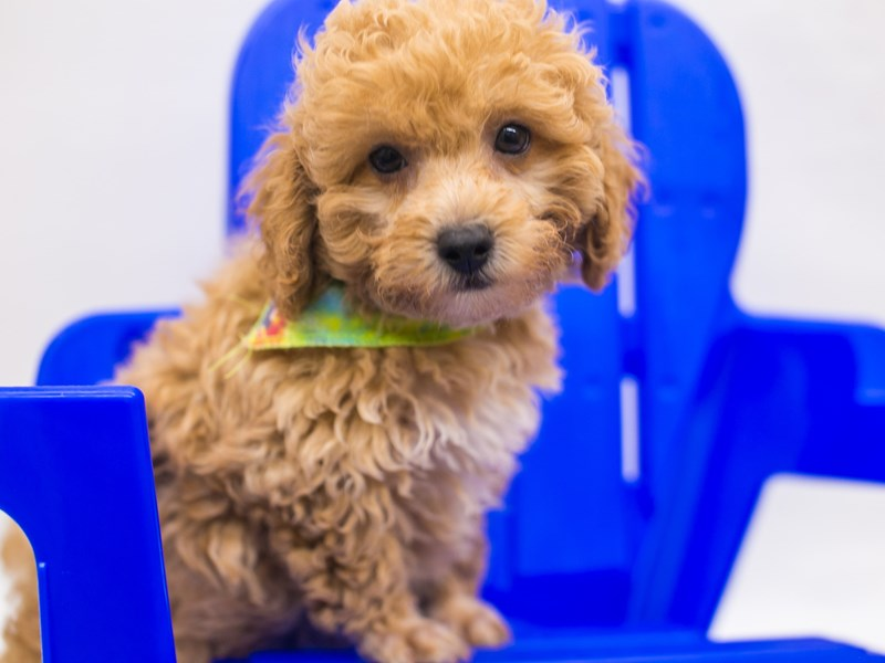 Toy Poodle-Male-Red & White-2826520-Petland Wichita, KS