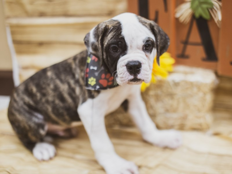 American Bulldog-Male-Brindle & White Pibald-2822384-Petland Wichita, KS