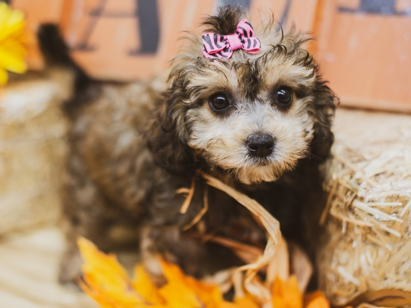 Cavapoo 2nd Gen-Female-Sable-2833850-Petland Wichita, KS