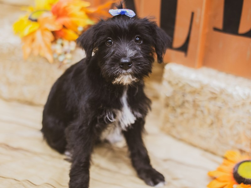 Miniature Schnauzer-Female-Black & White-2833818-Petland Wichita, KS