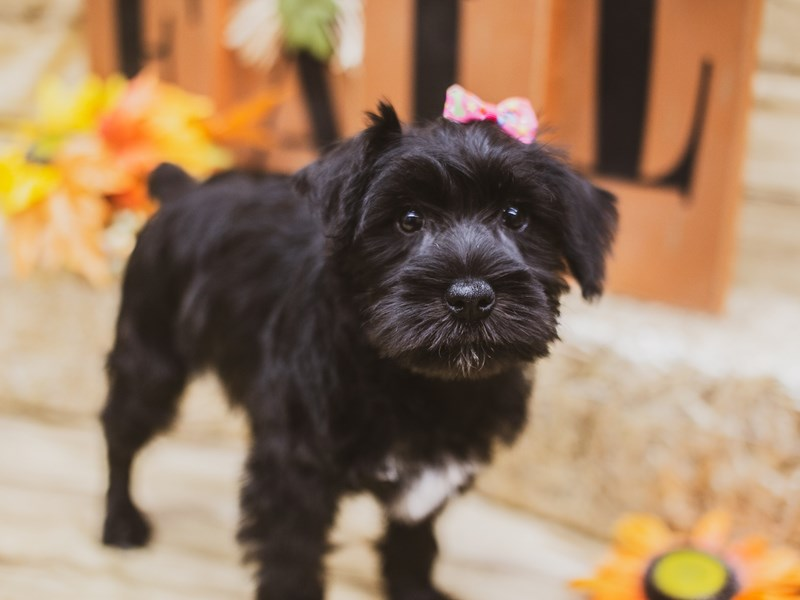 Miniature Schnauzer-Female-Black & White-2833813-Petland Wichita, KS