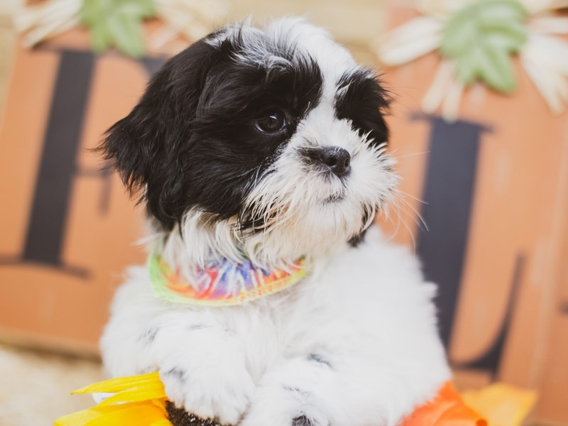 Shih Tzu-Male-Gold & White-2833676-Petland Wichita, KS