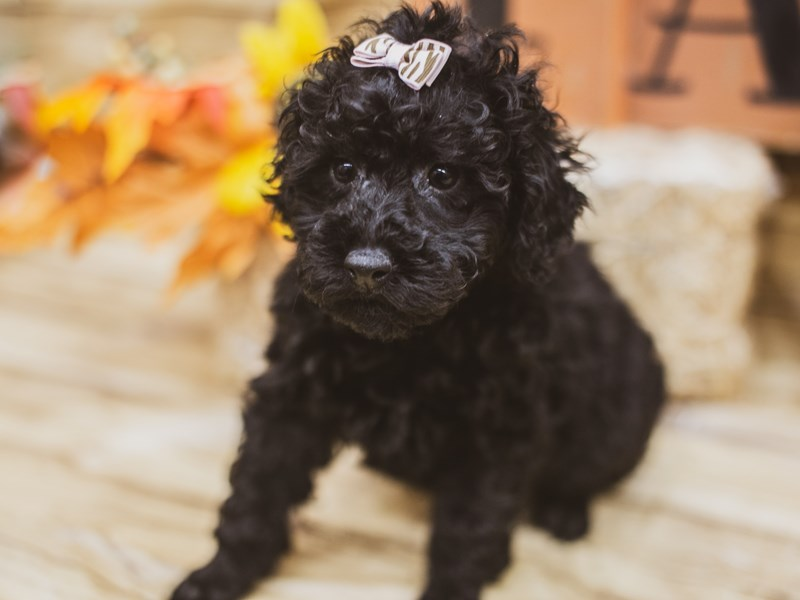 Miniature Poodle-Female-Black-2833647-Petland Wichita, KS