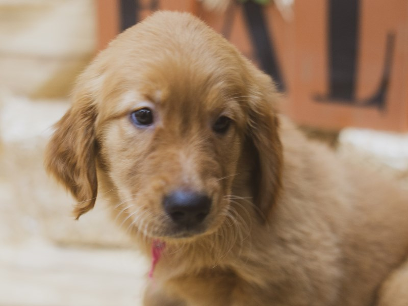 Golden Retriever-Female-Red-2833595-Petland Wichita, KS