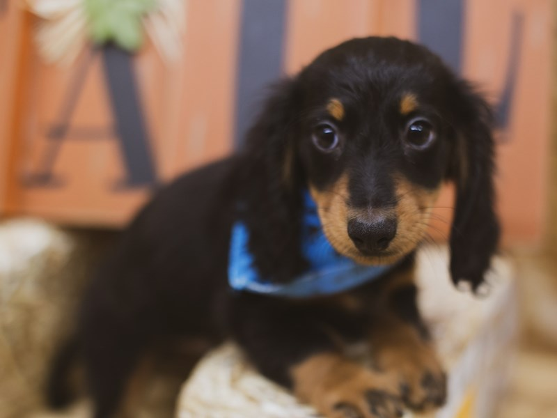 Miniature Dachshund-Male-Long Haired Black & Tan-2841591-Petland Wichita, KS