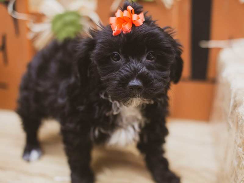 Yorkie Poo-Female-Black-2841020-Petland Wichita, KS
