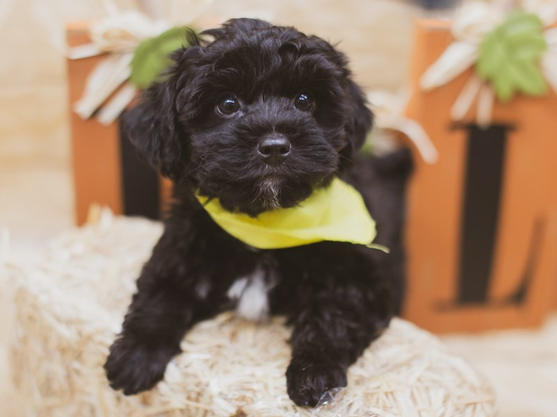 Yorkie Poo-Male-Black-2841019-Petland Wichita, KS
