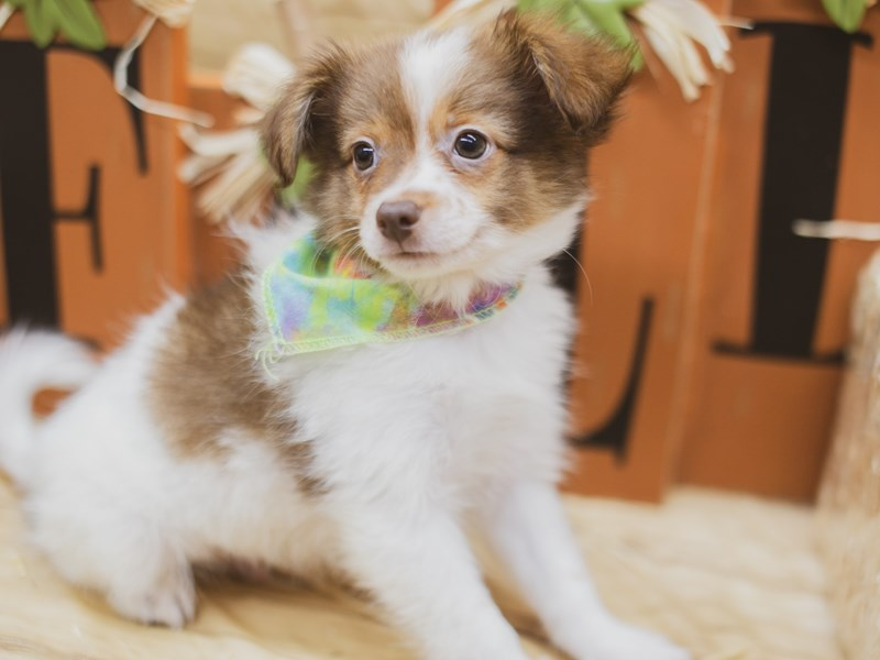 Pomchi-Male-Red & White-2840977-Petland Wichita, KS