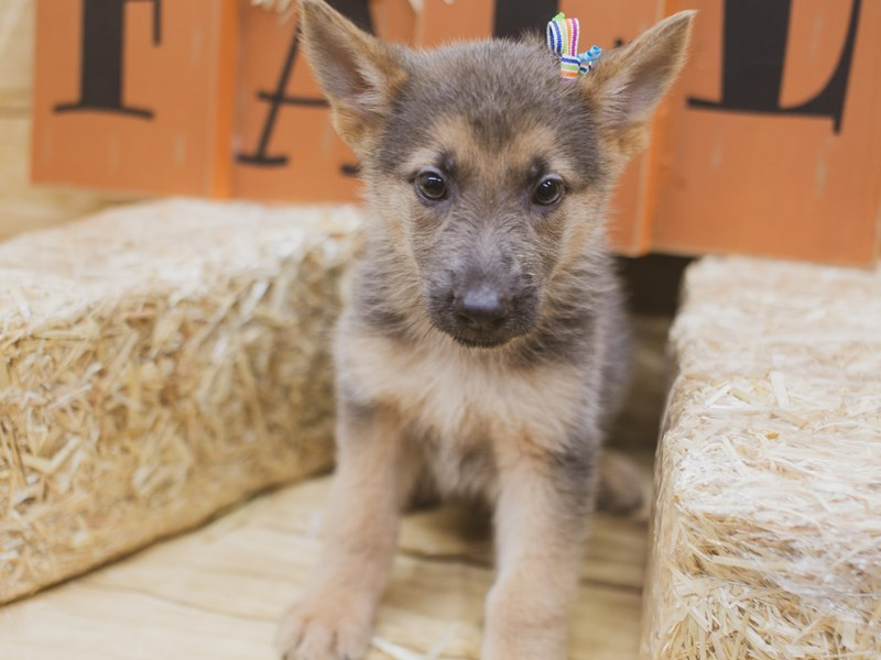 German Shepherd-Female-Blue & Gold-2840112-Petland Wichita, KS