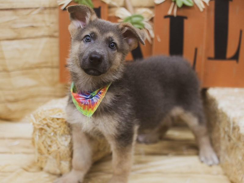German Shepherd-Male-Blue & Gold-2840109-Petland Wichita, KS
