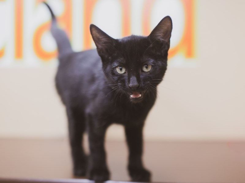 Kitten-CAT-Male-Black-2836229-Petland Wichita, KS