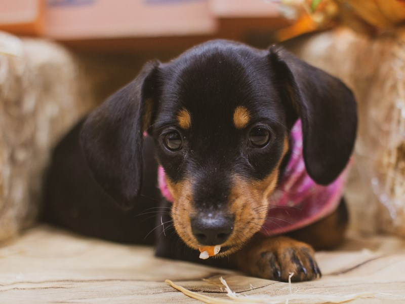 Miniature Dachshund-DOG-Female-Smooth coat Black & Tan-2849112-Petland Wichita, KS