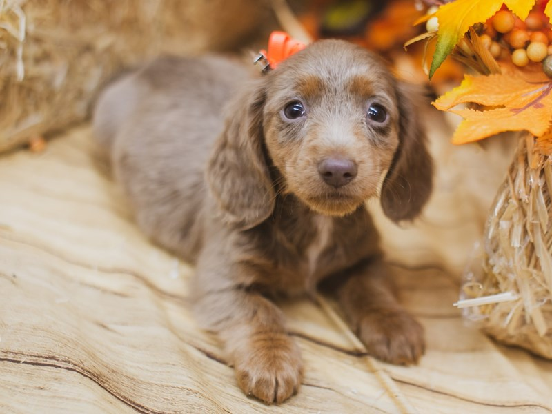 Miniature Dachshund-DOG-Female-Long haired blue and tan Isabella-2849096-Petland Wichita, KS