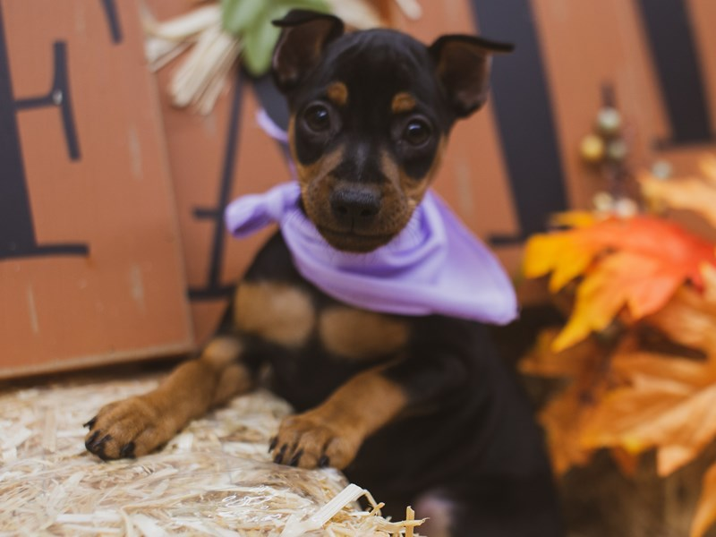 Miniature Pinscher-Female-Black & Tan-2848783-Petland Wichita, KS