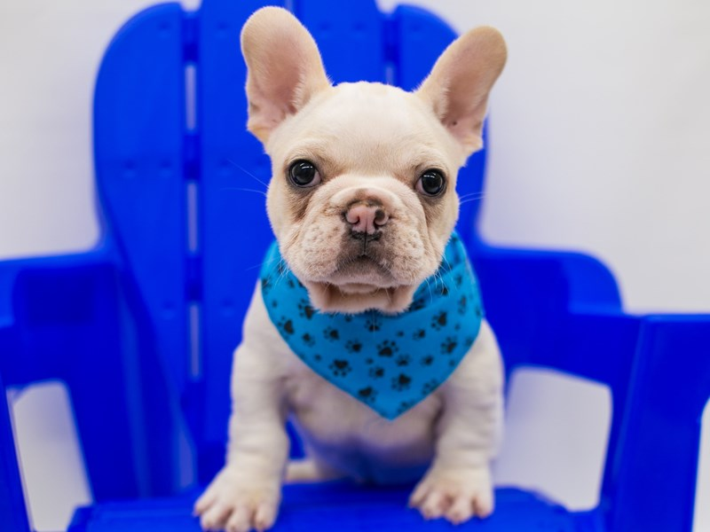 French Bulldog-Male-White & Cream-2796428-Petland Wichita, KS