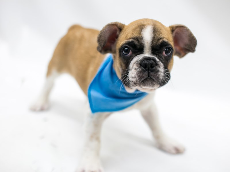 French Bulldog-Male-Fawn Pibald-2803341-Petland Wichita, KS