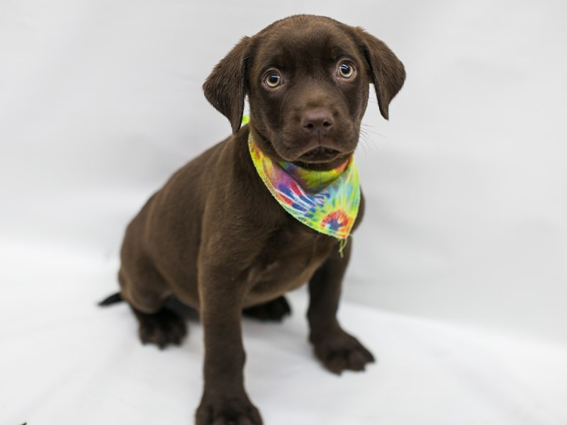 English Labrador Retriever-Male-Chocolate-2802756-Petland Wichita, KS