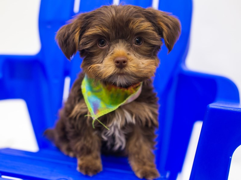Yorkshire Terrier-Male-Chocolate & Tan-2810765-Petland Wichita, KS