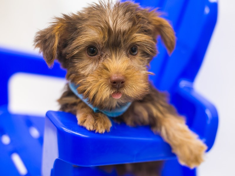 Yorkshire Terrier-Male-Chocolate & Tan-2810736-Petland Wichita, KS