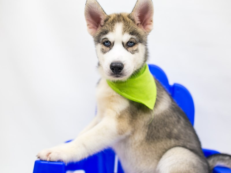 Siberian Husky-Male-Grey & White-2809398-Petland Wichita, KS