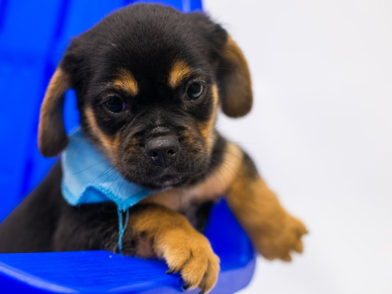 Puggle-Male-Black & Tan-2810286-Petland Wichita, KS