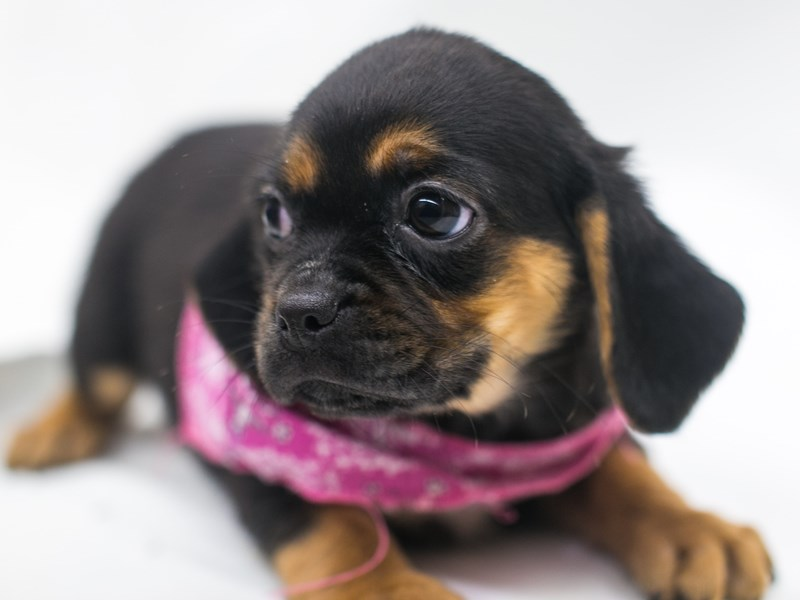 Puggle-Female-Black & Tan-2810307-Petland Wichita, KS