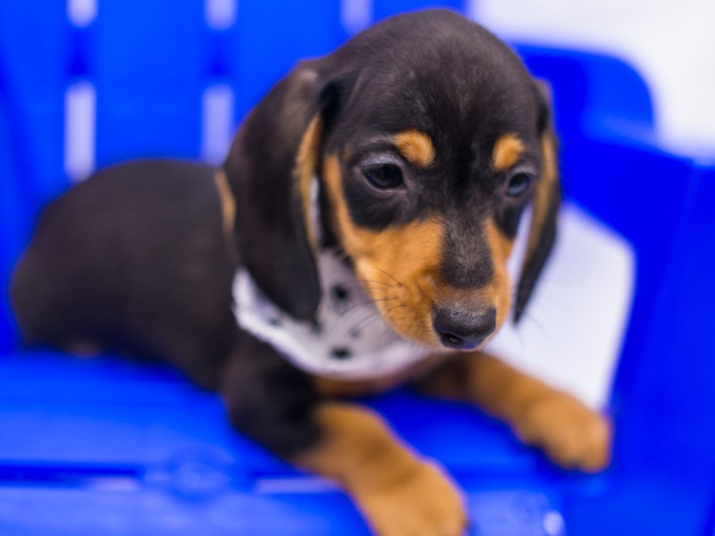 Miniature Dachshund-DOG-Male-Black & Tan-2819119-Petland Wichita, KS