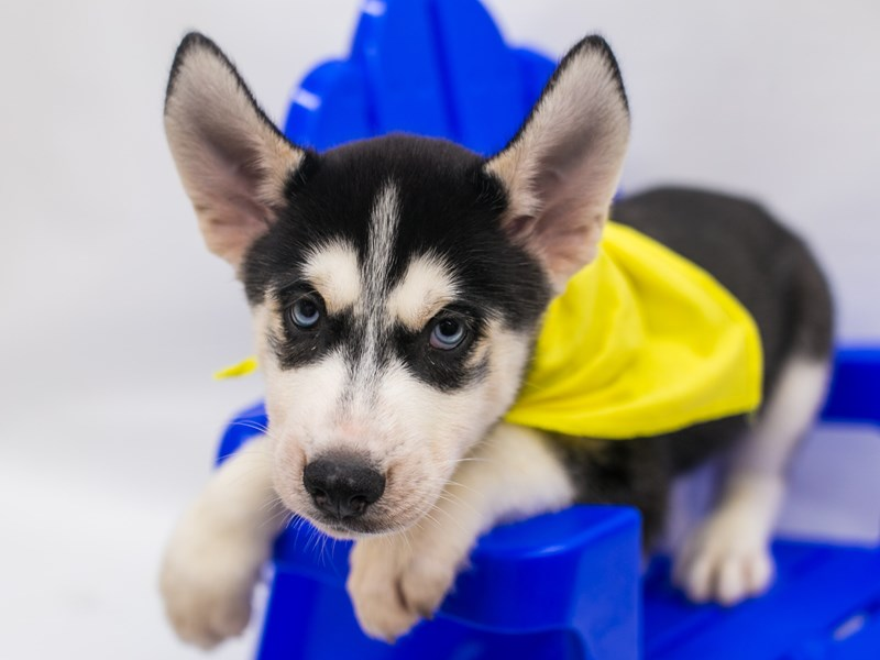 Siberian Husky-Male-Black & White-2825505-Petland Wichita, KS
