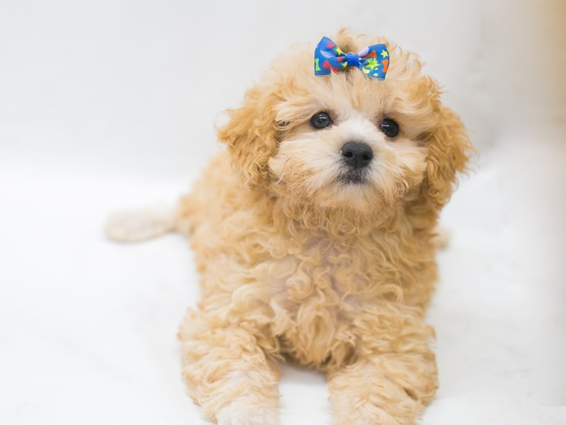 Toy Poodle-Female-Apricot-2826523-Petland Wichita, KS